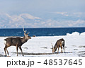 エゾシカ 冬 シカの写真 48537645