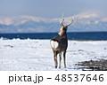 エゾシカ 冬 シカの写真 48537646