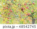 りんご アップル 林檎の写真 48542745