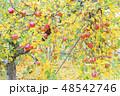 りんご アップル 林檎の写真 48542746