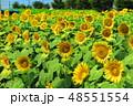 ひまわりガーデン ヒマワリ 花の写真 48551554