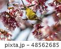 春 桜 花の写真 48562685