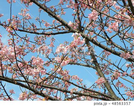 五分咲きの稲毛海岸駅前カワヅザクの花 48563357
