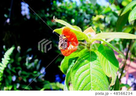 【京都】京都府立植物園 唇のようなサイコトリア・ペッピギアーナ(横アングル) 48566234