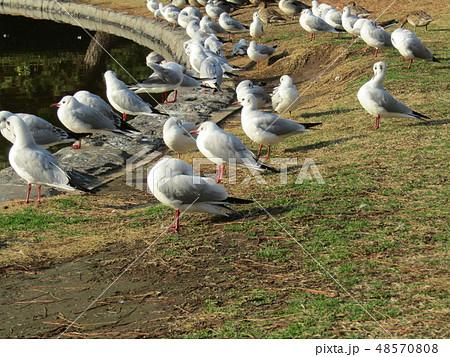 稲毛海浜公園の池に来たユリカモメ 48570808