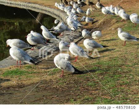 稲毛海浜公園の池に来たユリカモメ 48570810