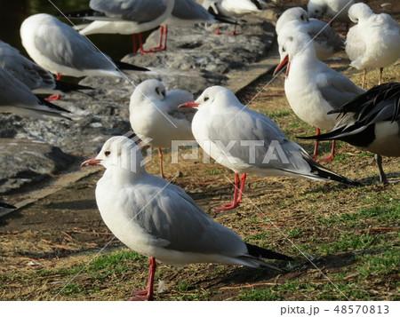 稲毛海浜公園の池に来たユリカモメ 48570813