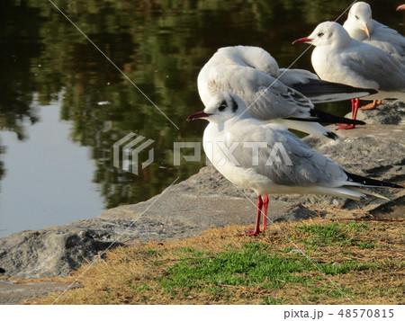 稲毛海浜公園の池に来たユリカモメ 48570815