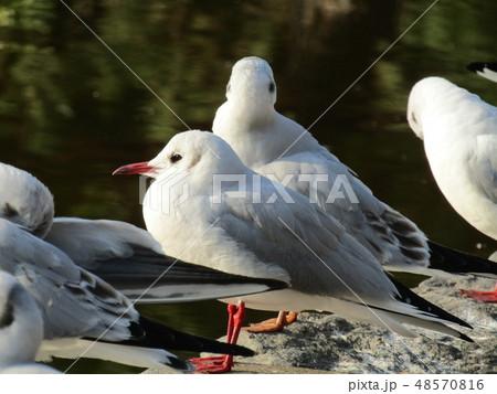 稲毛海浜公園の池に来たユリカモメ 48570816