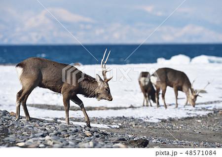 冬の山と海を背景にしたエゾシカ(北海道・野付半島) 48571084