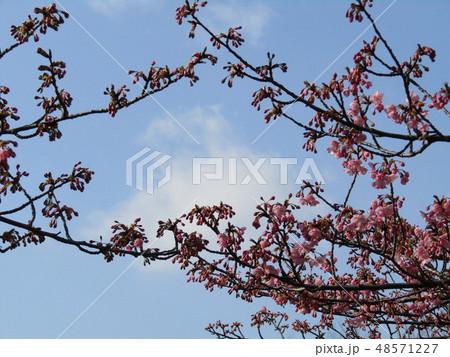 八分咲きの稲毛海岸駅前カワヅザクラの花  48571227