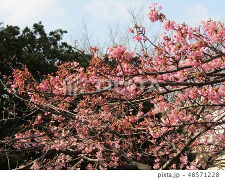五分咲きの稲毛海岸駅前カワヅザクラの花  48571228