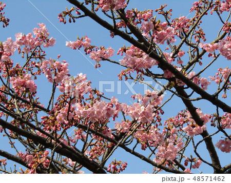五分咲きの稲毛海岸駅前カワヅザクラの花  48571462