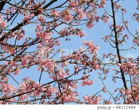五分咲きの稲毛海岸駅前カワヅザクラの花  48571469