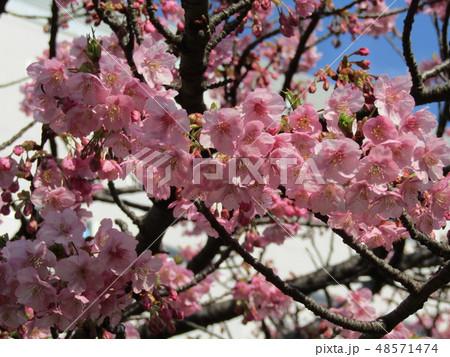 五分咲きの稲毛海岸駅前カワヅザクラの花  48571474