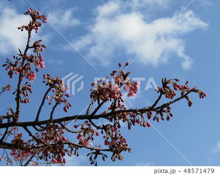 五分咲きの稲毛海岸駅前カワヅザクラの花  48571479