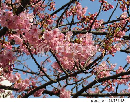 五分咲きの稲毛海岸駅前カワヅザクラの花  48571484