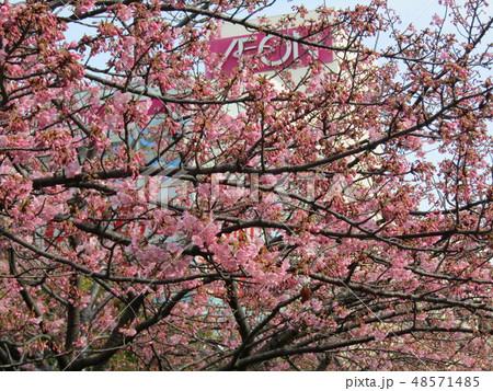 五分咲きの稲毛海岸駅前カワヅザクラの花  48571485