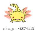 ウーパールーパー Axolotl ゴールデン アルビノ 48574113