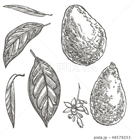 Avocado. Hand drawn illustrations. Tropical summer fruit engraved style illustration. 48579353