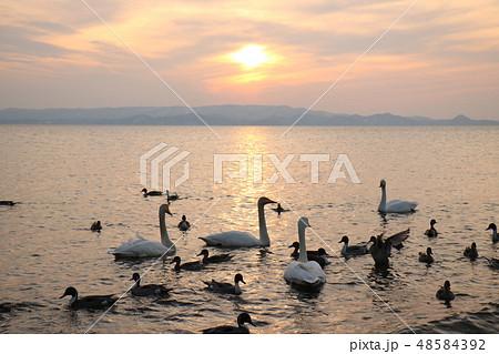 福島県の猪苗代湖の志田浜からの夕日と白鳥 48584392