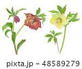 白バック 水彩 花のイラスト 48589279