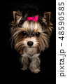 Biewer Yorkshire Terrier 48590585