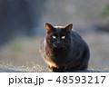 黒猫 猫 野良猫の写真 48593217