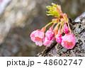 河津桜 蕾 カワヅザクラの写真 48602747