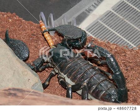 ダイオウサソリの食事(餌のミルワームを捕食中) 48607728