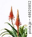 アロエ 花 キダチアロエの写真 48620852