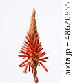 アロエ 花 キダチアロエの写真 48620855
