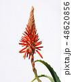 アロエ 花 キダチアロエの写真 48620856