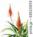 アロエ 花 キダチアロエの写真 48620859