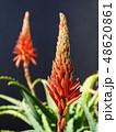 アロエ 花 キダチアロエの写真 48620861