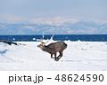 エゾシカ 冬 シカの写真 48624590