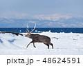 エゾシカ 冬 シカの写真 48624591
