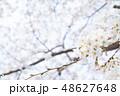 桜 染井吉野 文字スペースの写真 48627648