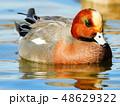 池 泳ぐ 水鳥の写真 48629322