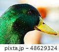 野鳥 鳥 水鳥の写真 48629324