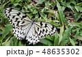 オオゴマダラ 48635302
