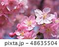 河津桜 桜 ピンクの写真 48635504