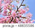 河津桜 桜 ピンクの写真 48635586