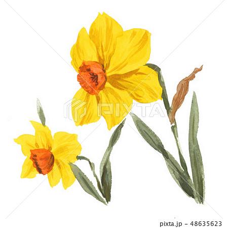 daffodil19307pix7 48635623