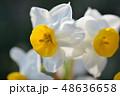 白い水仙 48636658