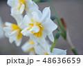 白い水仙 48636659