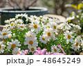 花 植物 マーガレットの写真 48645249