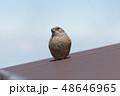 イワヒバリ 高山の野鳥 岩雲雀 富士山 48646965