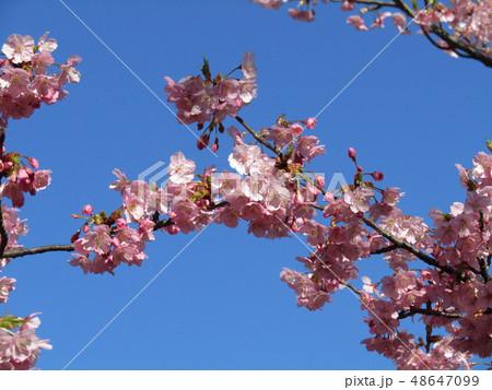 満開の稲毛海岸駅前カワヅザクラの花  48647099