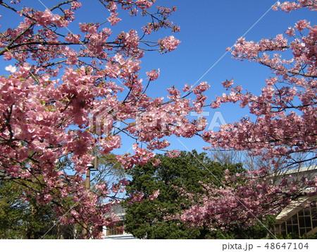 満開の稲毛海岸駅前カワヅザクラの花  48647104